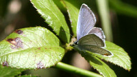 Eastern Tailed Blue, ventral
