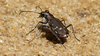 Bronze Tiger Beetle