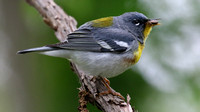 Northen Parula