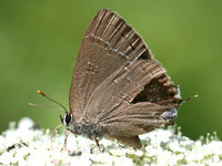 Possible Hickory Hairstreak