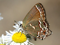 Hairstreaks and Elfins