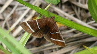 Four-lined Chocolate Moth