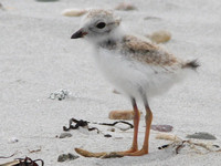 Piping Plover, chick