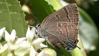 poss. Hickory Hairstreak