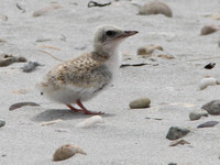 Least Tern, chick