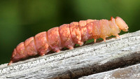 White-blotched Heterocampa Caterpillar