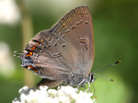 Edward's hairstreak