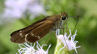 Purple-washed Skipper