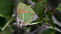 Xami Hairstreak