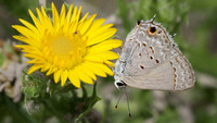 Mallow Scrub-hairstreak