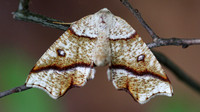 Hollow-spotted Plagodis Moth