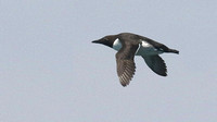 Bridled Murre